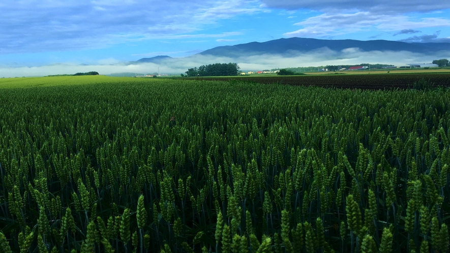 帯広八千代の景色  盛夏 小麦畑