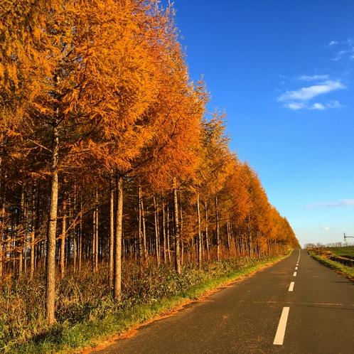 晩秋 カラマツの黄葉