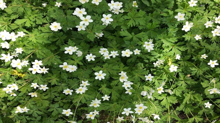 5月 新緑の季節 帯広八千代は野の花であふれます