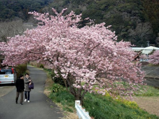 みなみの桜(河津桜)