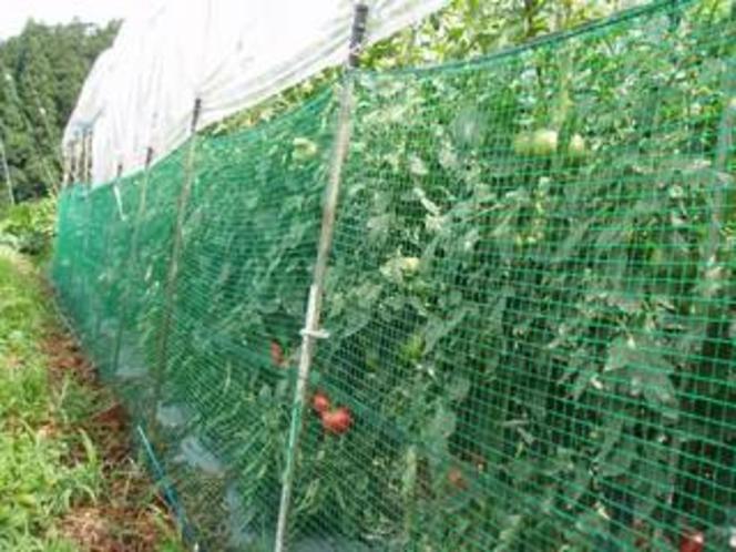 トマトを害獣からガードしてます