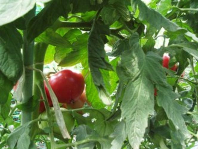 トマト熟れました