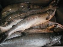 アキアジ(鮭)