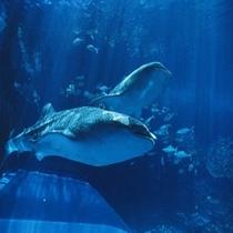 <美ら海水族館> ジンベイザメ