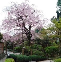 離れ客室から眺める1本桜の美しさ
