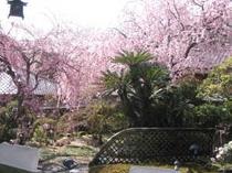 庭園に咲く桜