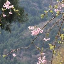 ●敷地内の桜。山を背景に