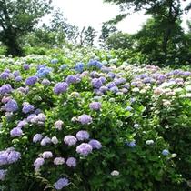 ●あじさいの郷の紫陽花