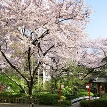約20,000m2の敷地に約230本の桜が花開くこの時期は、日本庭園がもっとも美しい季節です。