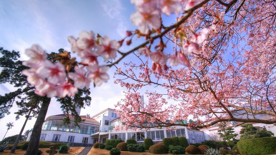 ティールーム「サンパーラー」と寒桜