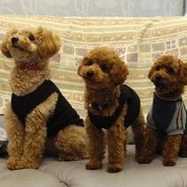 【看板犬】トイプードルのサンディちゃんと一緒にお写真を撮りたい時は声をかけて下さい。