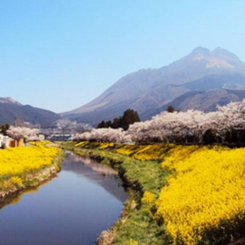 春には一面お花の絨毯。。そして由布岳がきれいに見えます♪