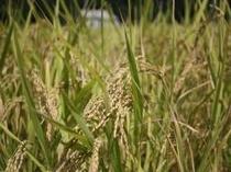 お米は自家製コシヒカリ