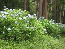 那須街道赤松林の紫陽花
