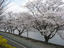 りんどう湖の桜