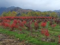 ブルーベリーの木の紅葉