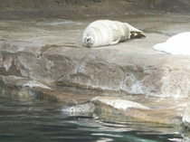 旭山動物園のそらと成獣2005年