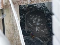 ハイタカ(恐らく雌の幼鳥)