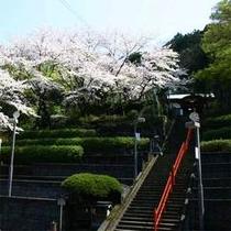 温泉神社の桜