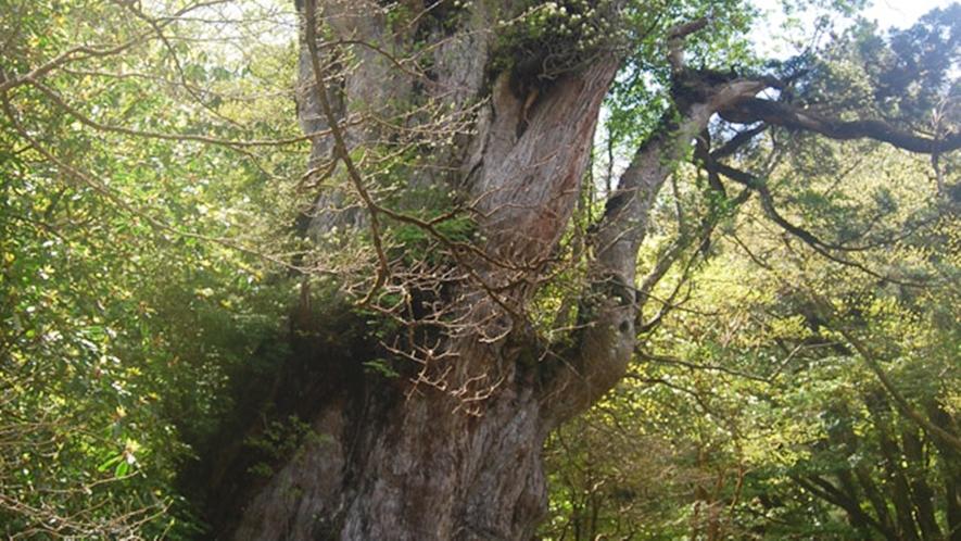 *【縄文杉】屋久杉自然館まで車で20分。言わずと知れた最大級の屋久杉。屋久島に来たなら必見!