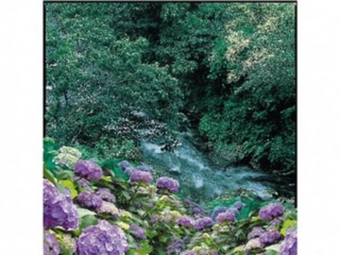 露天風呂に続く回廊の周りに咲く紫陽花