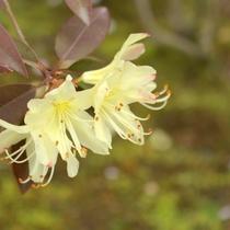 伊香保森林公園で見られる「ヒカゲツツジ」他にもレンゲツツジ、山ツツジなど色鮮やか。
