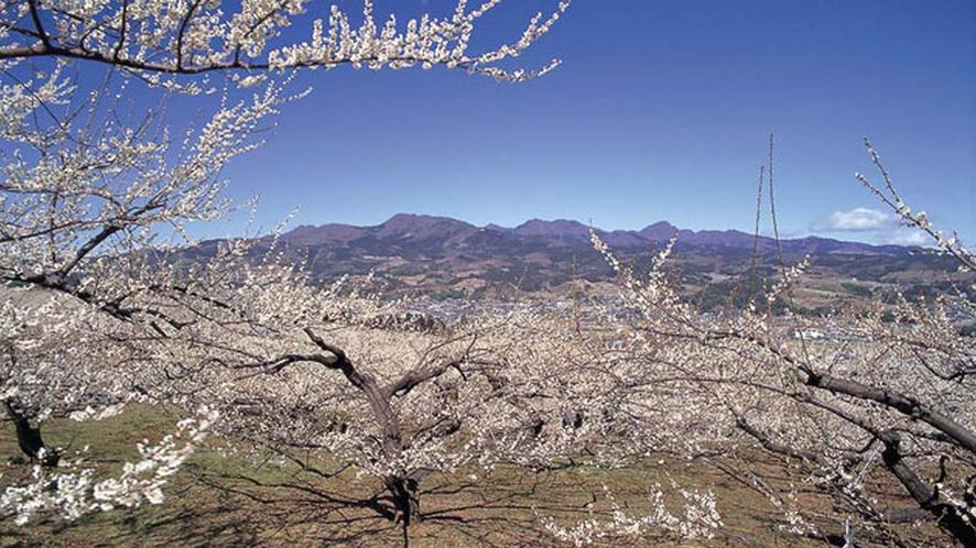 上毛三山の一つ、榛名山を背景に広がる榛名梅林。榛名地域全体でおよそ12万本。