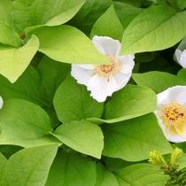 4-6月に見られる山野草「ヤマシャクヤク」榛名山等周辺山々でもお愉しみ頂けます