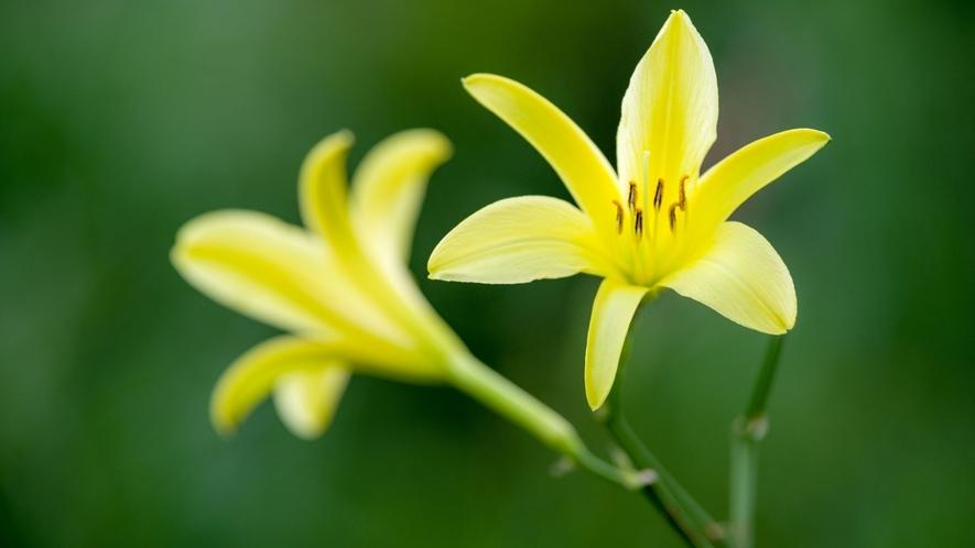 ゆうすげの花言葉は「麗しき姿」