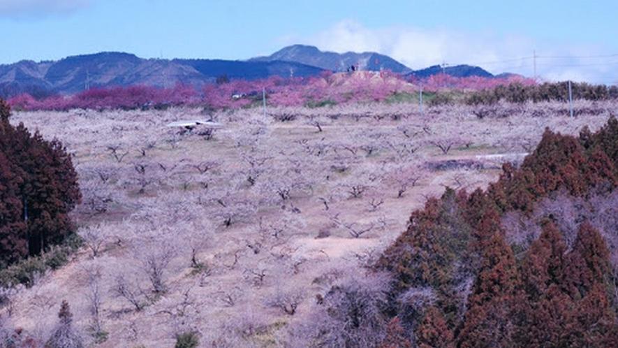 箕郷梅林(みさとばいりん)  関東平野を一望する丘陵300ヘクタールに約10万本の梅が咲き誇ります。