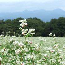 行幸田のそば畑