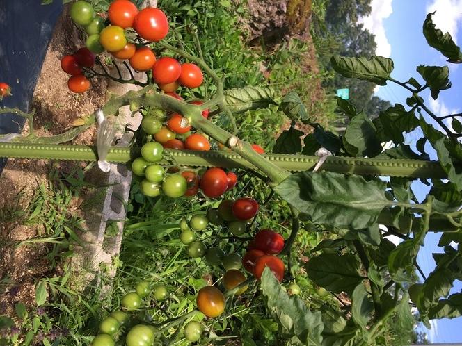 自家栽培トマト