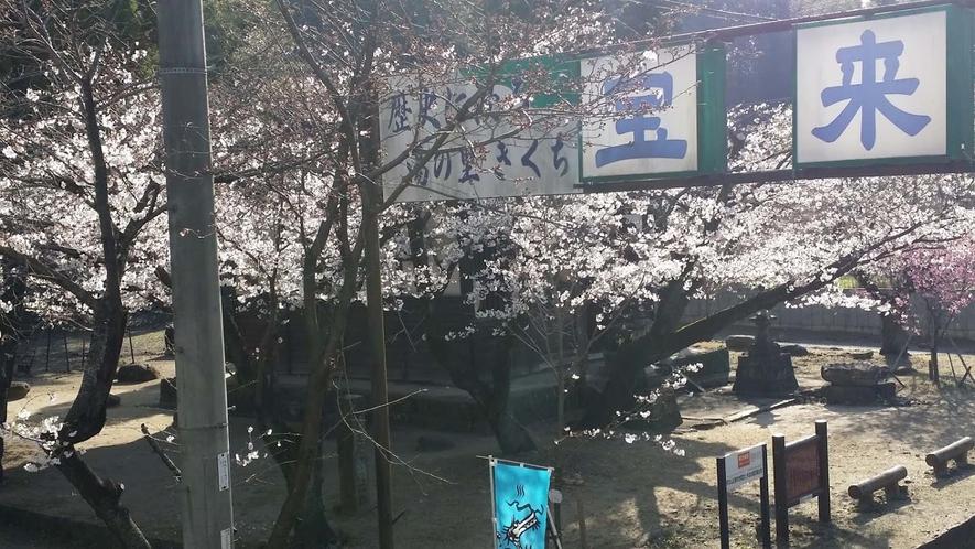 春になると桜が目の前に咲きます