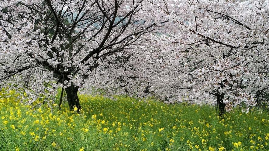 春には桜と菜の花が見えるスポットがあります