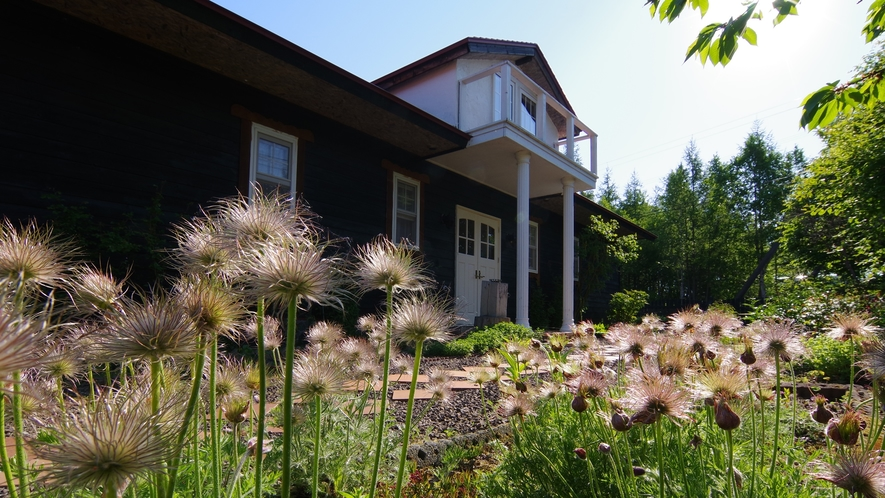 オキナグサ。6月の庭で