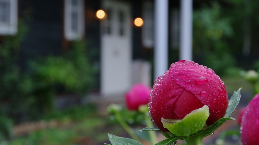 雨上がりに。咲き始めたバラの花と