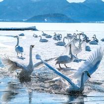 **屈斜路湖/当館から車で20分!冬には白鳥がやってきます。