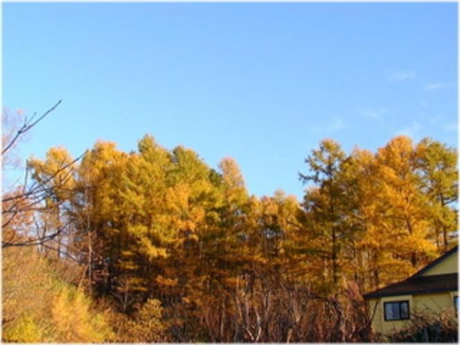 10 宿裏 落葉松林の黄葉