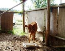 子牛の食事