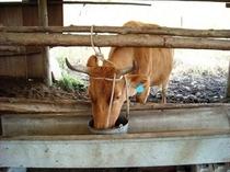 親牛の食事