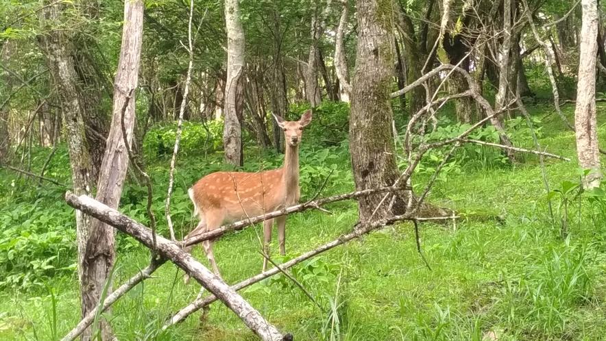 野生の鹿に遭遇できるかも!