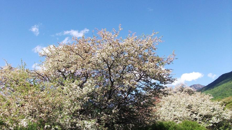 *春/いろは坂