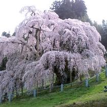 2010三春滝桜