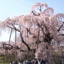 2010三春滝桜-2