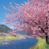 伊豆河津桜 毎年2月上旬から開花が始まります