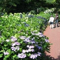 伊豆四季の花公園 あじさい苑 毎年6月が見ごろ