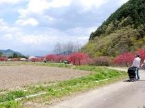 武石地区余里の花桃(5月上旬)
