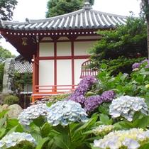 【季節の花】アジサイ 久米寺