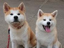 秋田犬に会えるホテル~エイト&ヒナ~