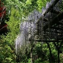 初夏 藤の花